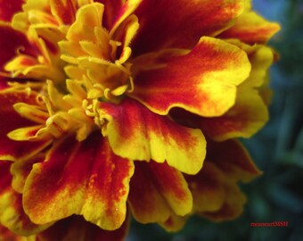 Mouse's Marigold