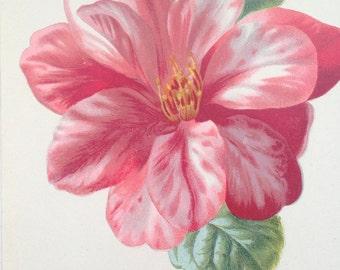 1879 CAMELLIA Original Antique Botanical Lithograph - Botany - Flower - Wall Decor  - Home Decor - Matted & Ready to Frame