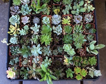 "24 Assorted Succulent Collection in 2""plastic pots succulents great for wedding gifts & FAVORS+"