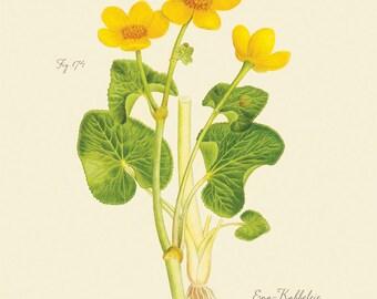 """Vintage botanische Blumen """"Caltha Palustris"""" Ranunculaceae Print 8 x 10 P176"""