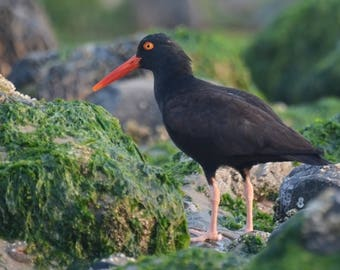 Framed Black Oystercatcher