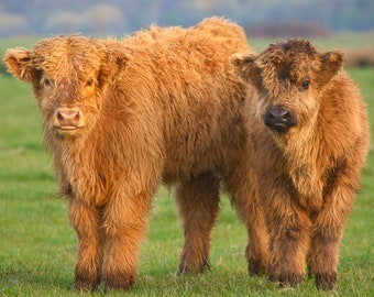 Highland Cow Calves Greeting Card