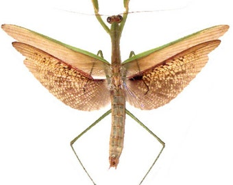 Supplies for your artworks  dried insects  : One Tenodera aridifolia WINGS OPEN  , a praying mantid  ,  free shipping !