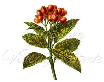Botanical Print, Instant Download, Antique Botanical PNG Plant Digital Image - Antique Illustration - INSTANT DOWNLOAD - 2247