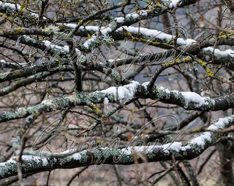 Immediate download photo - Oak branches - high resolution to print - print as you want - trees - nature