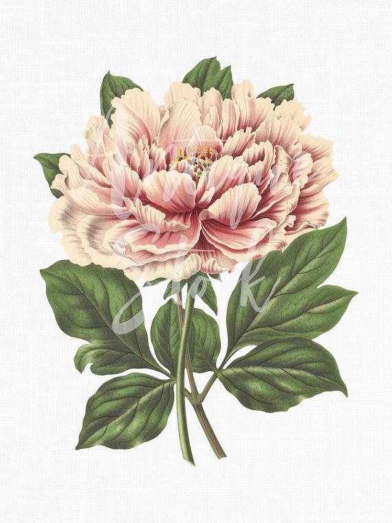 Peony Flower Pink Tree Peony Botanical Illustration