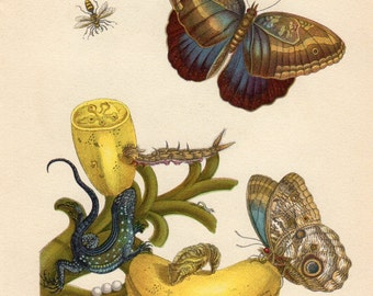 Custom Matted Botanical Print Butterfly Fruit Banana Lizard Insects Natural History maria sibylla merian Matted 8 X 10