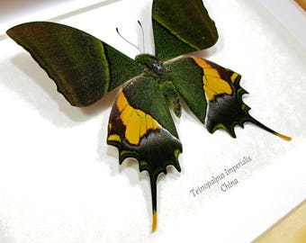 FREE SHIPPING Framed Teinopalpus Imperialis or The Kaiser-i-Hind Swallowtail Butterfly Taxidermy A1- #174
