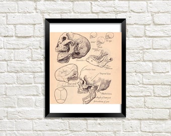 Human Anatomy -  Skull - Jaw