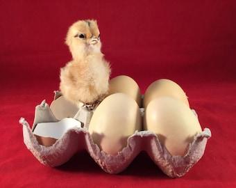 Taxidermy Real Brn Chick/chicken Egg Carton Display farm country barn kitchen