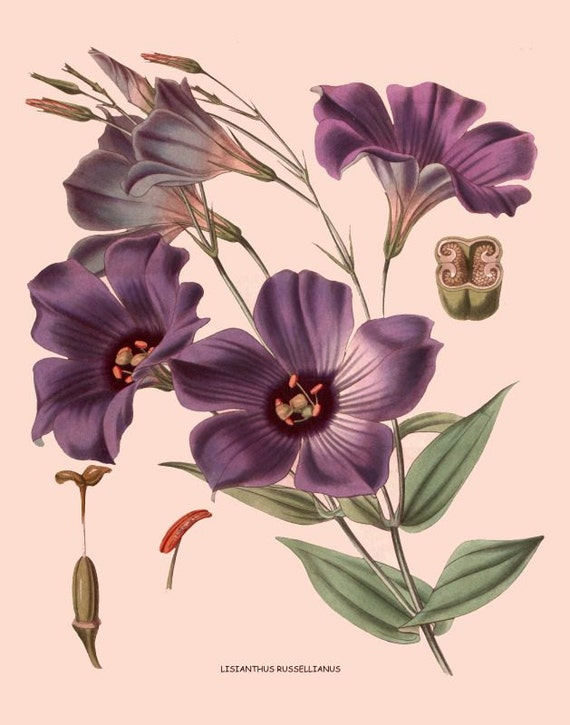 Items Similar To Antique French Victorian Botanical Print Purple Lisianthus Flowers Illustration Digital Download On Etsy