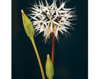 Tuft of Stars - 5- Postcard Set
