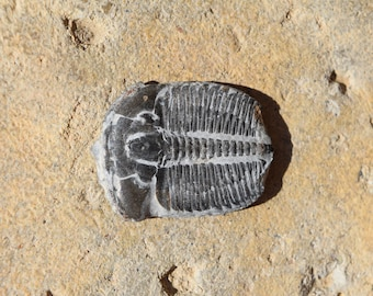 Fossil Ammonite and Michelinoceras in Matrix from Nevada OverMichelinoceras Fossil