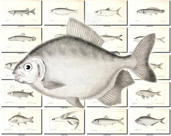 FISHES-44-bw Collection of 144 vintage images Anchovy Luce common species pictures High resolution digital download printable water animals