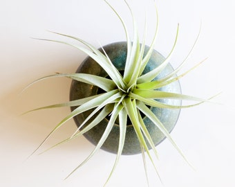 Tillandsia Xerographica Seedling