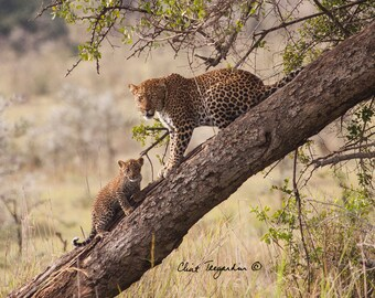 Leoopard and cub in tree