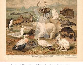 DOWNLOAD: Arctic Fauna 1897 German Print | 200x250mm | Self-Print | Animal stock illustration