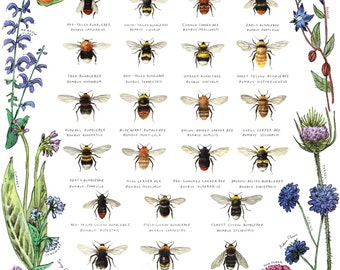 Bumblebee Species of Britain Art Print - Bee Poster, Bumblebee Art, Bumblebee Print