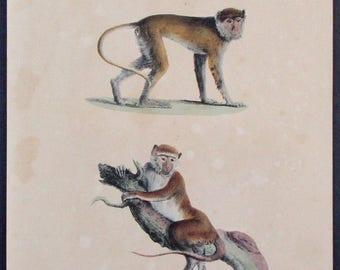 1833 Monkeys, Primates: Le Patas a Baneau Noir, Le Patas a Bandeau Blanc. Antique Handcolored Lithograph. Original. Natural History.