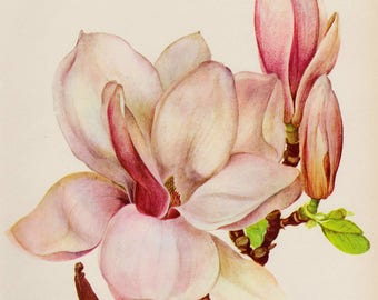 Vintage Pink Magnolia Flower Art Print Botanical Print Pink Flower Gallery Wall Art Home Library Decor Gift for Birthday Wedding Shrub 3515