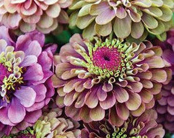 Queen Red Lime Zinnia 50 Seeds  Exotic and unusual bicolor zinnia rare  garden flowers