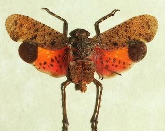 Real lanternfly framed - Penthicodes pulchella