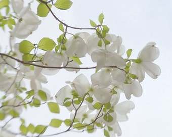 "Spring Photo ""Dogwood Reaching"" Nature Photography Spring Blossom Art, White Flower Photo, White Dogwood Picture, Dogwood Photo, Fresh Decor"