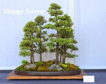 100 seeds - White spruce - Picea glauca - Bonsai seeds - Spruce seeds