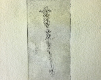 Lavender, scientific illustration in intaglio engraving
