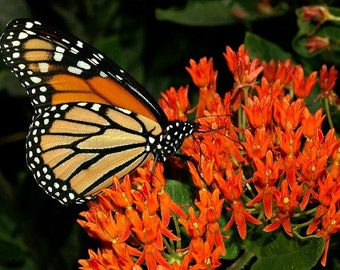 Butterfly Milkweed, Asclepias tuberosa, 25 wildflower seeds, vibrant orange, Monarch host, all zones, cold hardy, sun or shade, sow in fall
