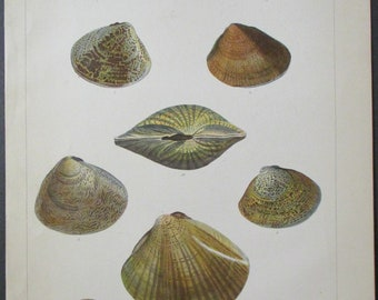1856 Antique Lithograph showing a variety of Cytherea Shells: Meretrix, Morphina, Petechialis, from Expedition to China Seas & Japan