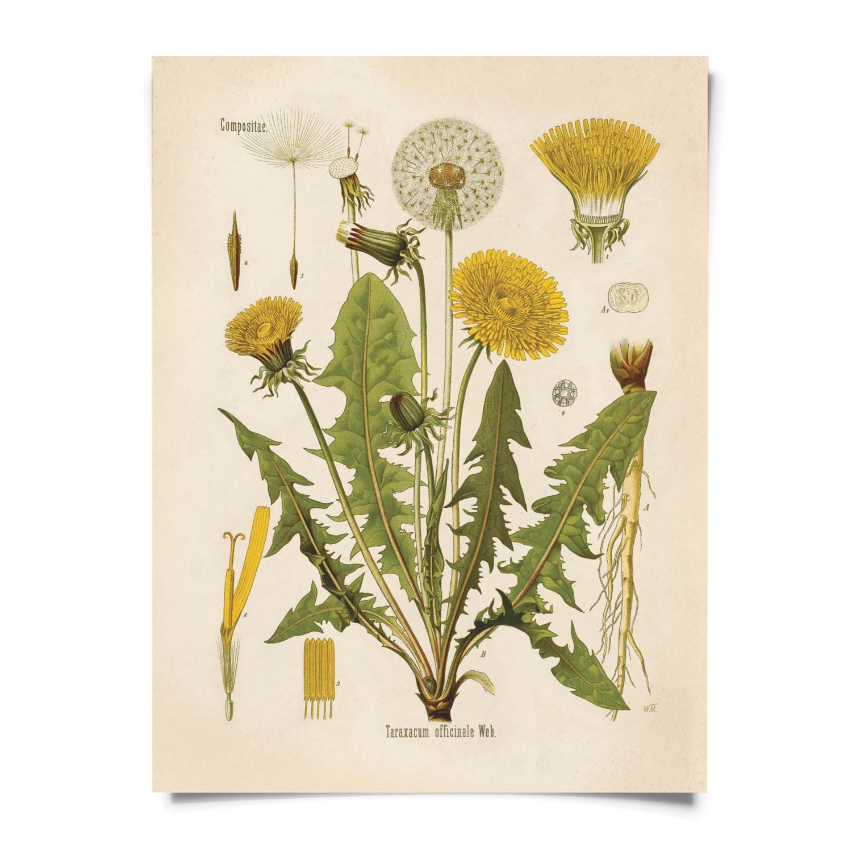 Dandelion Flower Print - Vintage Reproduction Poster ...