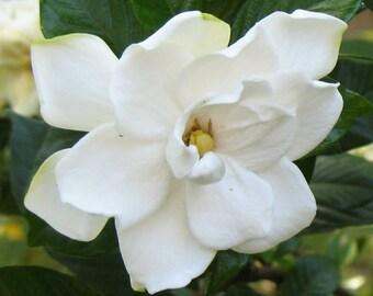 Gardenia - Home Fragrance Oil - Warmer / Burner Oil - 2 Fluid Ounces