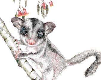 Gumtree Possum