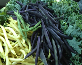SALE Burgundy Bush Bean Excellent Flavor High Antioxidants Grown to Organic Standards Non GMO Rare Seeds