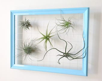 Air Plant Frame & 5 Air Plants (Tillandsia)