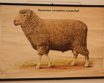 Pull down Chart Sheep schoolplaat wall chart Vintage