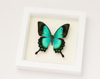 Framed Butterfly in White Shadowbox Frame Sea Green Swallowtail