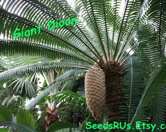 Giant Dioon - Fresh Seeds or Germinated Seeds - Free Shipping - Dioon spinulosum - Cycad - Tropical Foliage