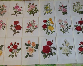 60 old Board engraving 1957 Collection on the Roses RosierAmerican Pillar (1908) Gypsy Meilland (1951) Moulin Rouge (1952)