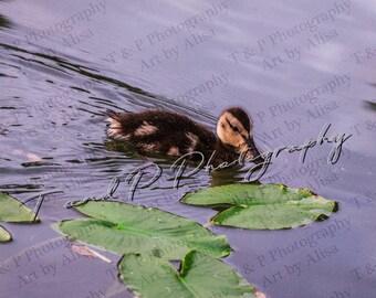 digital download photo, ANIMAL photos, baby duck photo, digital baby photos, cute baby photo, duckling photo, nursery ducky, baby's room
