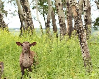 5x7 lamb photography print