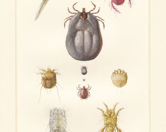 Vintage lithograph of face mite, feather mite, harvest mite, ticks, castor bean tick, itch mite from 1957