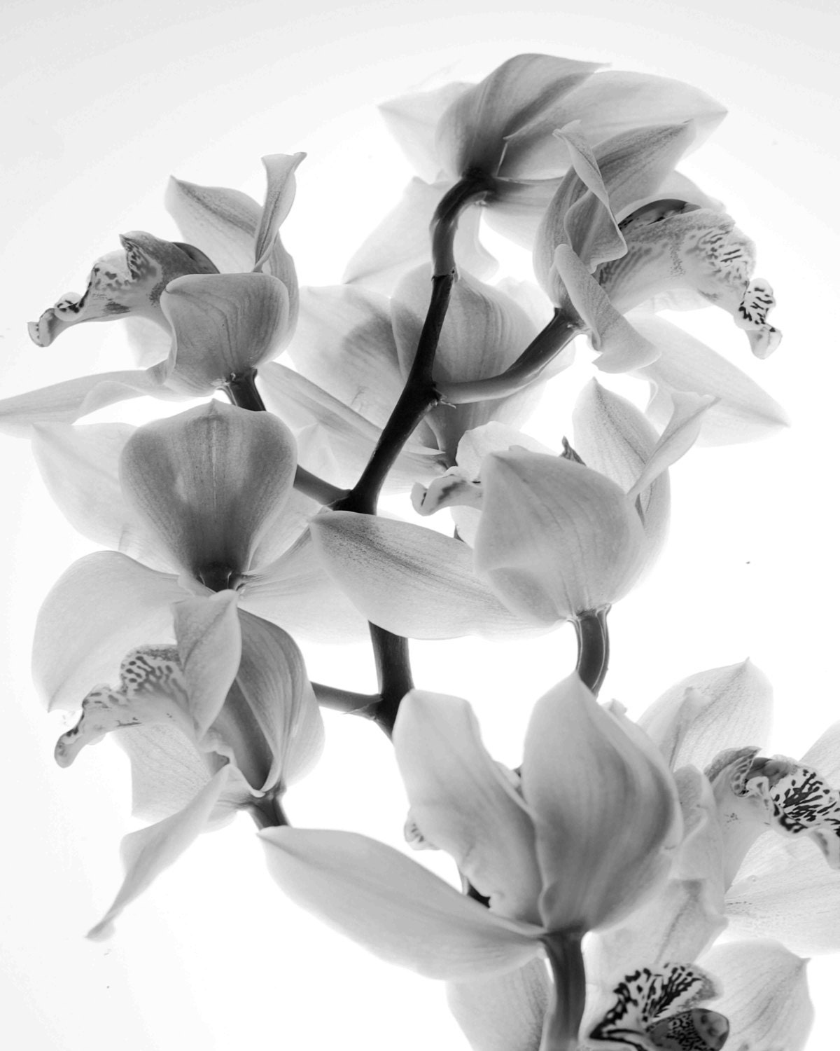 Orchids black and white photography minimalist zoom mightylinksfo