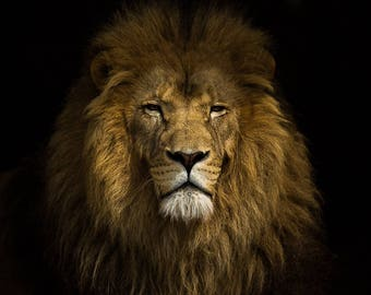 Lion Man Cave Art : Lion photography print head with mane home wall art or
