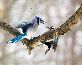 Blue Jay and Hairy Woodpecker showdown