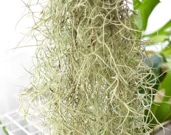 BULK SALE Spanish Moss Tillandsia Usneoides Live Air Plant, Succulent Wedding, Rustic Wedding Deocr, Hanging Air Plant, Wholesale Air Plants