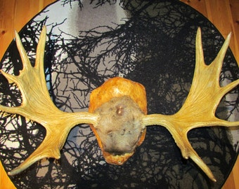 Moose antlers from Lapland