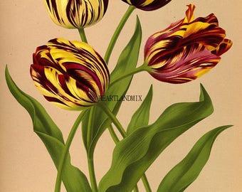 Vintage Floral Botanical Digital Download Printable Image Wall Art Tulip