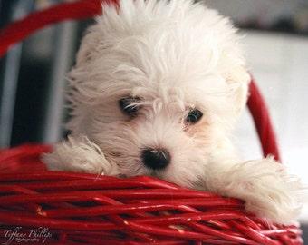 Cute Maltese Puppy 8x10 Matted Print